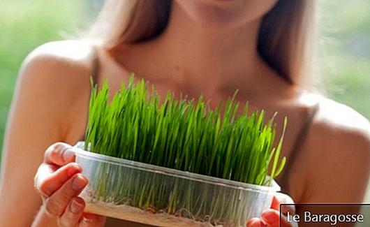 15 Fantastic Benefits Of Wheat Grass For Your Health And Beauty